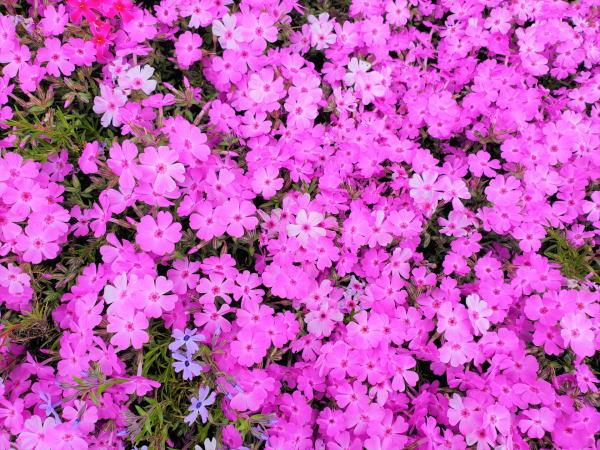 芝桜 害虫